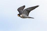 Wild peregrine falcon hunting, © 2019 David A. Ponton