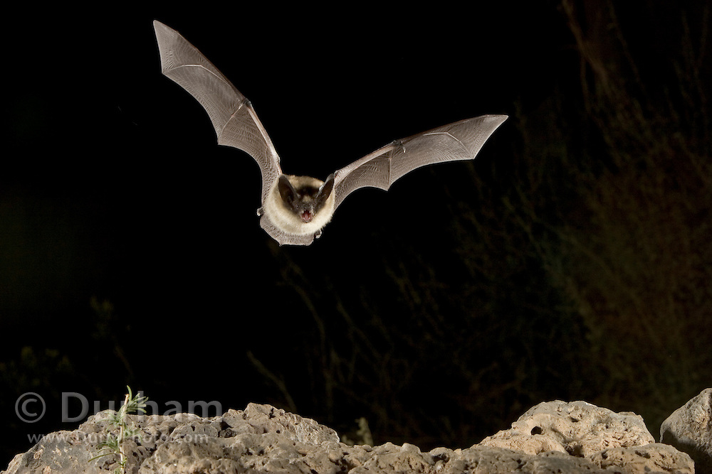 A western long-eared myotis (Myotis evotis) in flight over a volcanic rock outcropping. Deschutes National Forest, Oregon.