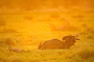 blue wildebeest, Connochaetes taurinus, ñu azul, listado, Streifengnu, gnou bleu