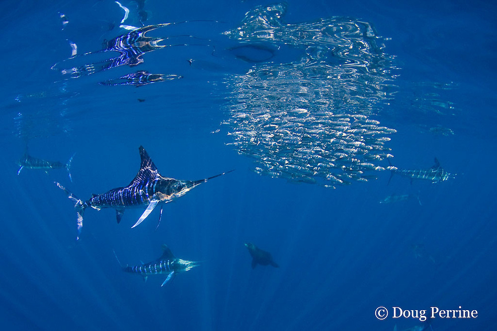 striped marlin, Kajikia audax (formerly Tetrapturus audax ), feeding on baitball of sardines, Sardinops sagax, with reflections on undersurface of water, off Baja California, Mexico ( Eastern Pacific Ocean )
