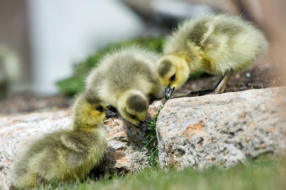 Baby goslings feed long a rier bank.v