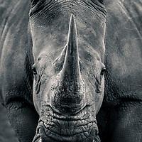 White Rhino at Solio, Laikipia