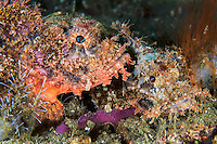 Tassled Scorpionfish pair rests on the seafloor<br /> <br /> Shot in Indonesia