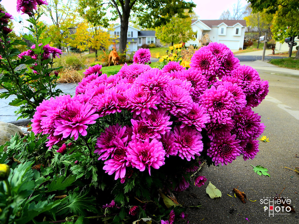 Mums in bloom in late fall.