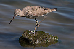 Willet (Tringa semipalmata), San Francisco Bay, Millbrae, California, United States of America