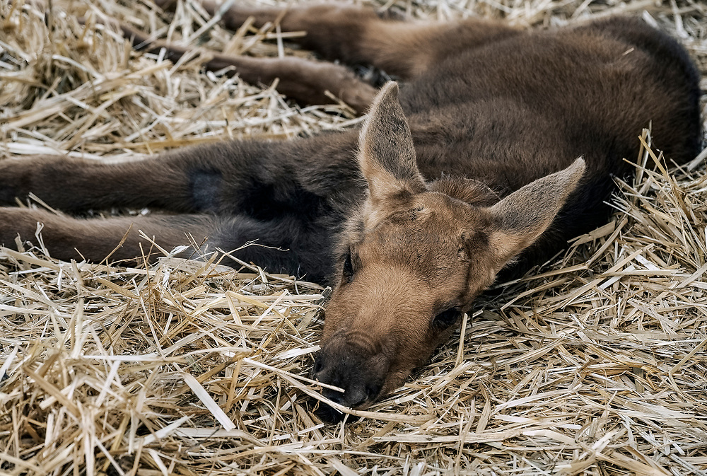 Rescued young moose calves, Alaska, USA.