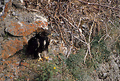 Wildlife: Golden Eagle