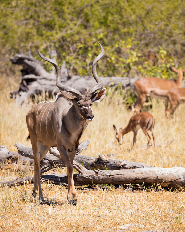 A greater kudu bull emerges out of the dense forest, Etosha National Park, Africa.