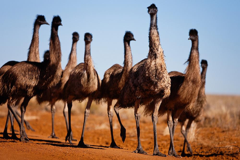 A clutch of emu chicks (Dromaius novaehollandiae), the largest birds native to Australia, walk through the desert vegetation in a family group, New South Wales,  Australia