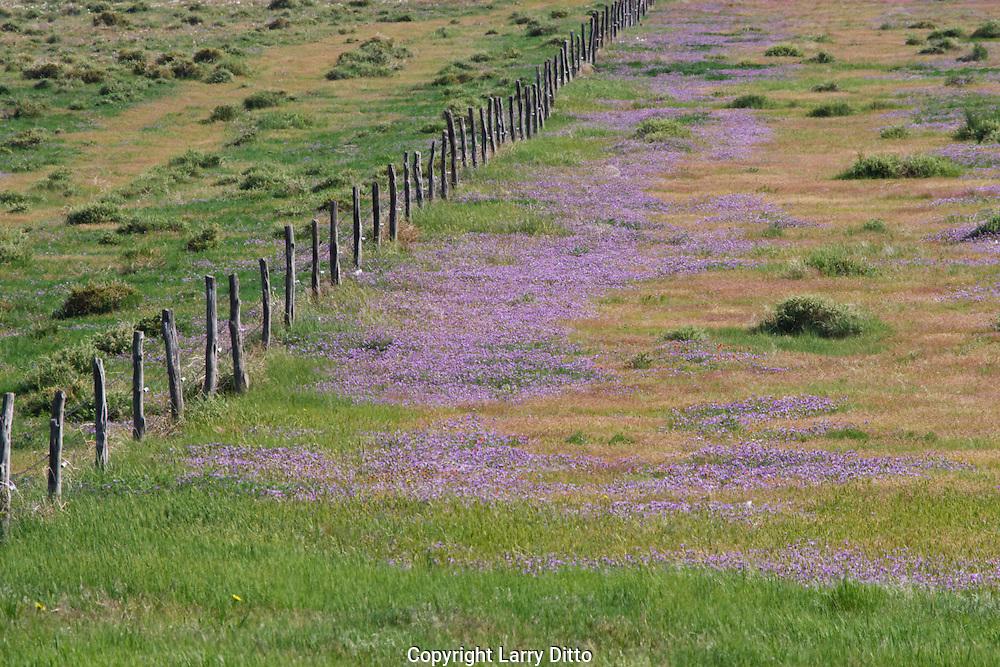 Wildflowers in eastern Colorado, USA, spring
