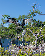 Osprey flying to nest in cypress tree, preparing to land, with mate in tree beyond, © 2007 David A. Ponton