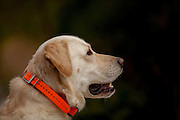 Yellow Lab. Retrieving birds.