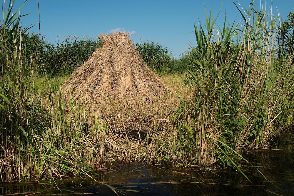 Harvesting reed beds, Phragmites communis, Danube delta rewilding area, Romania.