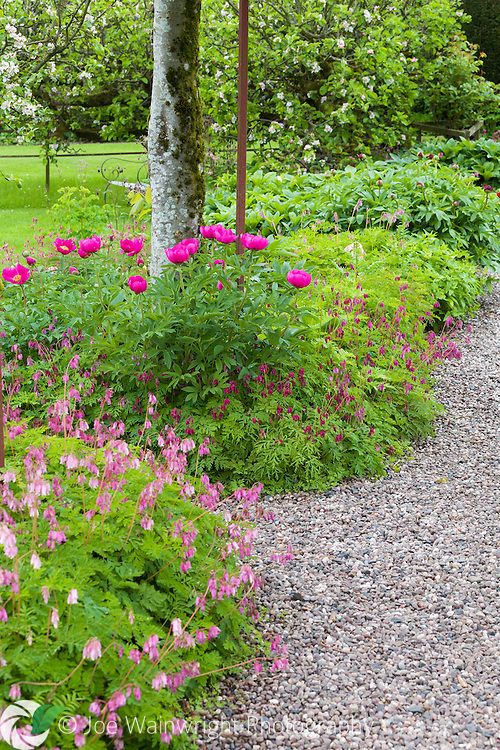 Peonies and dicentras in the walled garden at Hutton in the Forest, Cumbria - photographed in May