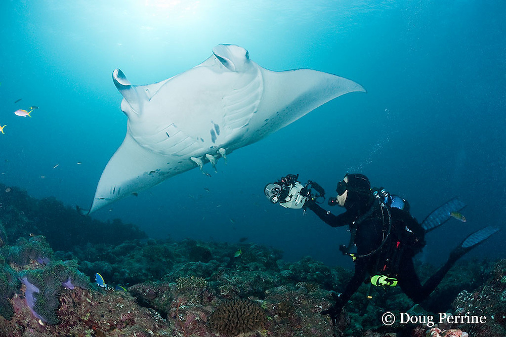 Thomas Peschak photographs reef manta rays, Manta alfredi (formerly Manta birostris ), at cleaning station, Manta Point, Lankan, North Male Atoll, Maldives ( Indian Ocean )