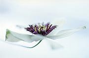 Clematis florida var. florida 'Sieboldiana' - passion flower clematis