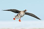 Greater White-fronted Goose, Anser albifrons, Yukon Delta NWR, Alaska