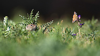 Souslik watching Painted Lady butterfly, Spermophilus citellus, Cynthia cardui, Slovakia, Europe, Ziesel beobachtet Distelflater, Spermophilus citellus, Cynthia cardui, Slowakei, Europa
