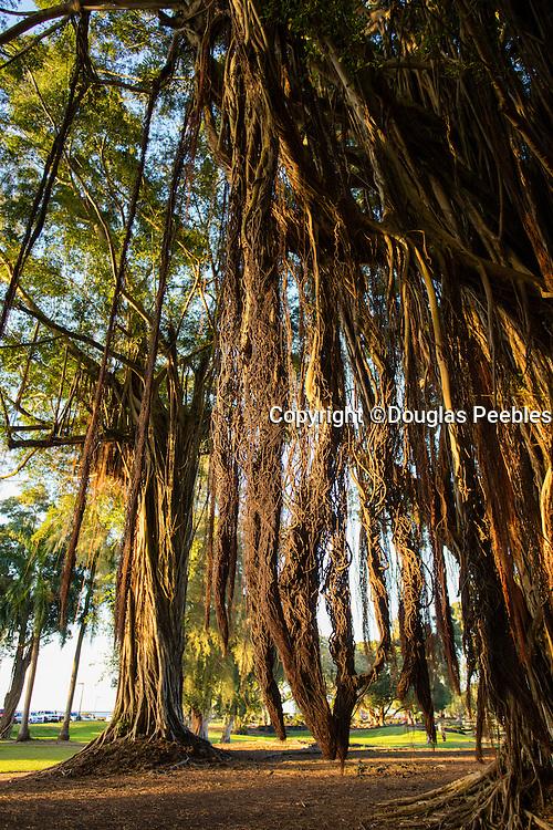 Banyan Tree, Liliuokalani Gardens, Hilo, The Big Island of Hawaii
