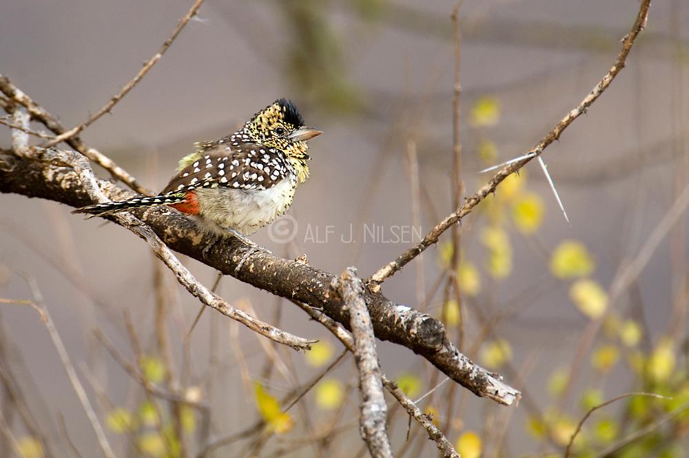d'Arnaud'ds Barbet (Trachyphonus darnaudii) from Samburu National Reserve, Kenya.