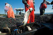PRICE CHAMBERS / NEWS&amp;GUIDE<br /> Andy Stuth drops another big fish in the bucket as Jake Junior gathers more from the net drug over the rear of a fishing boat on Yellowstone Lake on Wednesday. The National Park Service is working to erradicate lake trout before the invasive species overwhelms native cutthroat trout, which many types of wildlife depend on for food.