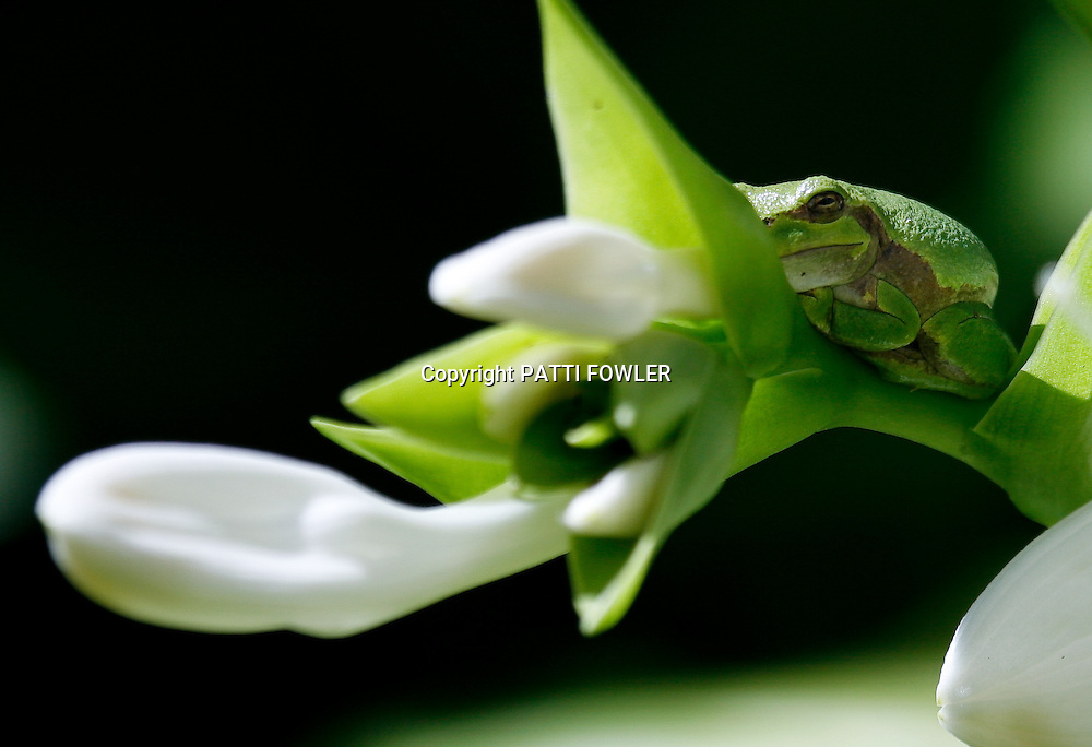 tree frog on hosta plant in bloom