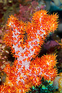 Alberto Carrera, Multi-branched trees, Soft Coral, Bunaken National Marine Park, Bunaken, North Sulawesi, Indonesia, Asia