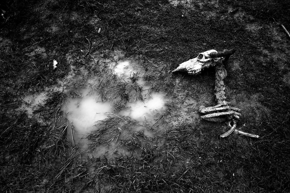 A buffallo dead next to a water puddle in the  Chandauli area in Mahoba district, Uttar Pradesh, India, on Thursday September 10, 2009.  In Bundelkhand between the years 1999 and 2008, the average number of rainy days per year has reduced from 52 to 23. In 2009 it is facing deficit of further 53%. The biggest ravine area with fallow land in India exists in Madhya Pradesh.  During last 20 years, huge land degradation has occurred in the region. People are dying of hunger deaths, children suffer from malnutrition, cattle are abandoned on the streets, acres of land lie barren, the only mode of survival is migration to the cities, the villages are empty leaving the old and sick behind to fend for themselves.  Complete collapse of environmental system makes drought a regular feature and then it converts into famine. The policy makers are not yet realizing that agriculture and natural resources are not only a business for Indian society, but measure for socio-economic rights.