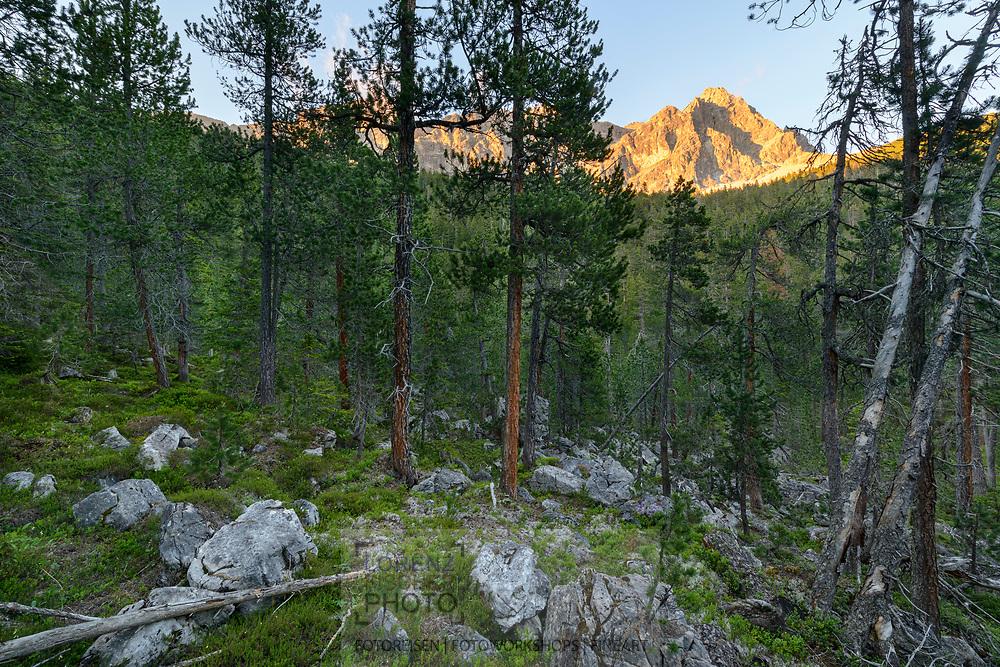 Impressionen aus dem Naturwaldreservat La Niva oberhalb Savognin im Surses mit zumeist Aufrechter Bergföhren (Pinus mugo uncinata) an einem wolkenlosen Sommerabend im Juli mit Blick auf den Piz Mitgel, 3159