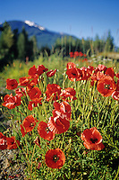 Wild red Poppies grow in a meadow in Whistler, BC, Canada.
