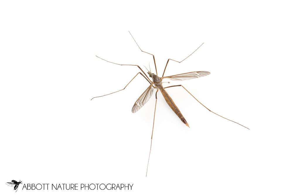 Crane Fly (Tipula Lunatipula texanus group) - male<br /> TEXAS: Travis Co.<br /> Brackenridge Field Laboratory; Austin<br /> 2-March-2012<br /> J.C. Abbott &amp; K.K. Abbott