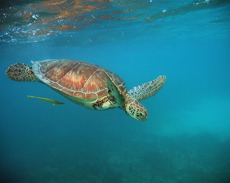 Green Turtle (Chelonia mydas). Location: Akumal, Mexico