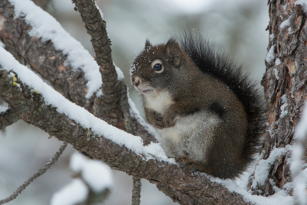 A red squirrel (Tamiasciurus hudsonicus) poses on a pine during the winter, Missoula, Montana