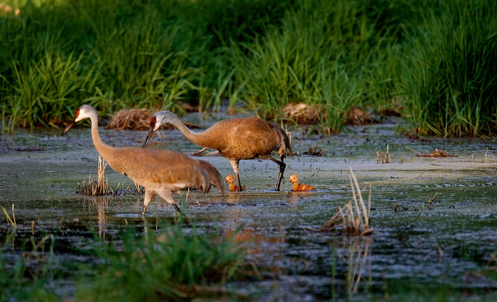 Sandhill Cranes lead their chicks back to the nest.  Cranes nest in wetlands to have warning from predators.  Photo by Tom Lynn