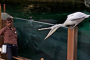 Singapore Zoo. Feeding manatees and pelicans.