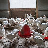 Nederland, Tuitjenhorn, 9 april 2016.<br /> Diervriendelijke  kip niet duurzaam.<br /> In Tuitjenhorn zit de biologische pluimveehouderij van Marcel Groot. Aan de rand van het dorp heeft hij twee ouderwetse stallen met elk 5000 kippen. Binnen lopen de kippen op stro. Hoewel de stal aardig vol zit, ziet het er &lsquo;natuurlijk&rsquo; uit.<br /> In plaats van zes weken, zoals bij de plofkip het geval is, leven de bio-kippen van Groot gemiddeld tien weken. Ook zitten er tien kippen op &eacute;&eacute;n vierkante meter, in plaats van twintig. En in de lente en de zomer hebben ze uitloop naar buiten. Niet voor niets heeft zijn kip het drie-sterren &lsquo;&lsquo;Beter-Leven-keurmerk&rsquo; van de Dierenbescherming. ,,Qua dierenwelzijn doe je met deze kip een grote stap vooruit,&rdquo; zegt Groot. ,,Maar qua milieu doe je een stap terug.&rdquo;<br /> Zijn kippen leven namelijk langer, hebben meer voer nodig, verbruiken meer energie, en zijn daardoor slechter voor het milieu. Daarnaast, legt Groot uit, werkt hij nog met verouderde apparatuur uit de jaren &rsquo;70. ,,Ik heb het geld niet om te investeren in nieuwe en duurzame techniek. Daarvoor zijn de opbrengsten te laag.&rdquo;<br /> Op dit moment beslaat de biologische kip ongeveer 1 procent van de totale markt, en zijn er maar twee biologische slachterijen in Nederland. Groot ziet het wat dat betreft somber in. ,,Ik denk niet dat het mogelijk is om de biologische sector zo in te richten dat we kunnen concurreren met de reguliere pluimveehouderij.&rdquo;<br /> Biologische kip is dan ook bijna vier keer duurder (tussen de 20 en 25 euro per kilo) dan plofkip (6 euro per kilo) of de Beter Leven kip met &eacute;&eacute;n ster (ongeveer 8 euro per kilo). Wel, zegt Groot, is de smaak en de kwaliteit van zijn vlees veel beter. ,,Het smaakt een beetje zoals vroeger. Hoe beter het leven van de kip, hoe beter de kwaliteit van het vlees.&rdquo;<br /> Foto: Jean-Pierre Jans<br /> Netherlands, Tuitjenhorn, April 9, 2016.<br /> Anima