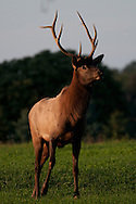 PRoud male elk standing tall almost facing head on to camera. Full body close up photograph.