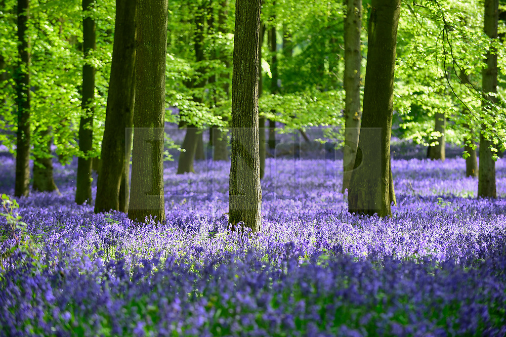© Licensed to London News Pictures. 30/04/2019. ASHRIDGE, UK. Bluebells are in bloom in Dockey Wood, Hertfordshire.  As the popular location experiences high numbers of visitors, the National Trust has imposed an entrance fee in recent years during busy periods with barricades of twigs and branches to demarcate pathways to protect the delicate flowers from being trampled.  Photo credit: Stephen Chung/LNP