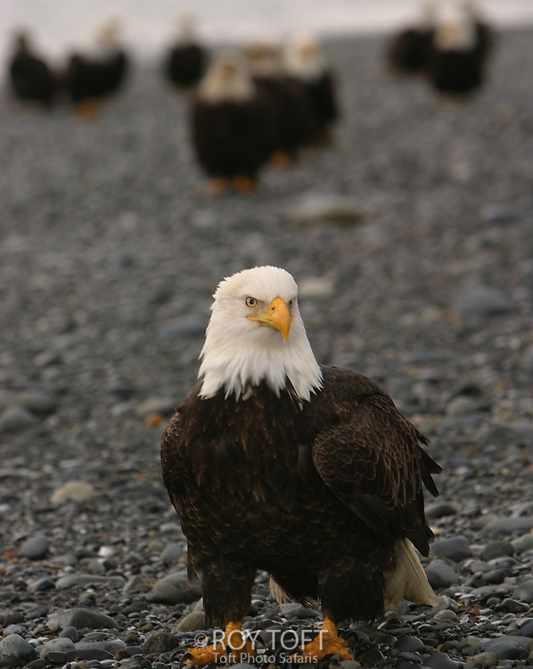 An American bald eagle (Haliaeetus leucocephalus) on beach with a flock of eagles in background, Homer, Alaska.