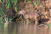 Capybara (Hydrochoeris hydrochaeris) on the banks of Cuiaba River, Pantanal, Brazil.