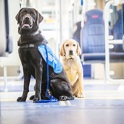 Trainee guide dogs traveling on an Edinburgh tram