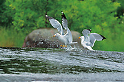 Ring-billed gulls (Larus delawarensis) at Rainbow Falls<br /> Whiteshell Provincial Park<br /> Manitoba<br /> Canada