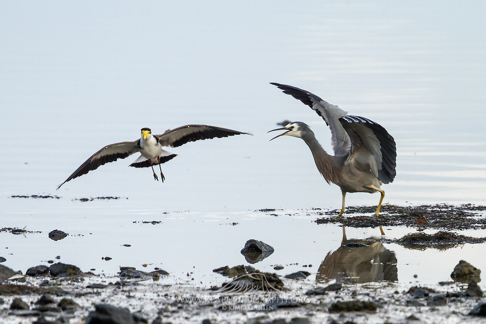 White-faced heron chases off a Spur-winged Plover at Invercargill Estuary, Southland, New Zealand