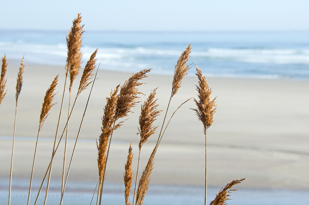 Golden beach grasses on the seashore at Ogunquit, Maine