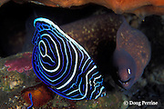 juvenile emperor angelfish, Pomacanthus imperator, and white-eyed moray, Siderea thyrsoideus, share a cleaning station, Bali, Indonesia