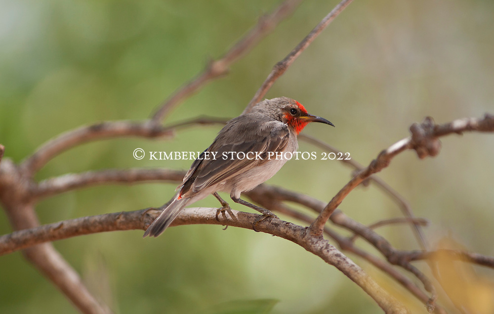 Red-headed honeyeater in the mangroves near Streeter's jetty
