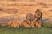 Three lions, Panthera leo, drinking and one standing at sunset