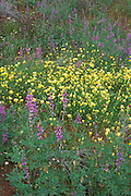 Lupine (Lupinus sparsiflorus) and Desert Dandelion (Malacothrix glabrata) in the Cottonwood Mountains, Joshua Tree National Park, California