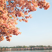 Pink cherry blossom flowers link the banks of the Tidal Basin in the distance. The Yoshino Cherry Blossom trees lining the Tidal Basin in Washington DC bloom each early spring. Some of the original trees from the original planting 100 years ago (in 2012) are still alive and flowering. Because of heatwave conditions extending across much of the North American continent and an unusually warm winter in the Washington DC region, the 2012 peak bloom came earlier than usual.