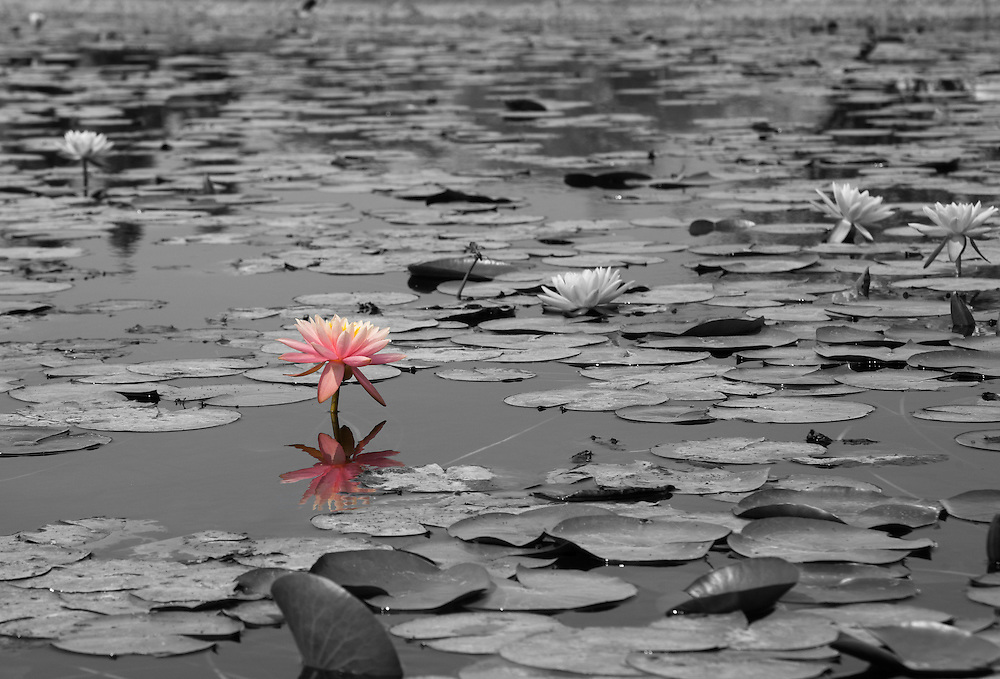 Black and white photo of a pond of lotus flowers with one lone flower in color.
